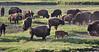 "Bison bison, American Bison ""Buffalo"" herd."