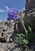 Polemonium viscosum, (syn. P. confertum) Sticky Jacob's-ladder, Mount Washburn 3152m.