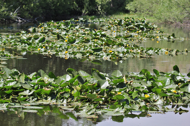 pond with Nuphar polysepala (syn. N. lutea) Yellow Pond Lily.