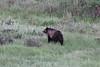 Ursus arctos, Grizzly Bear. SE of Silver Gate, N.W. WY