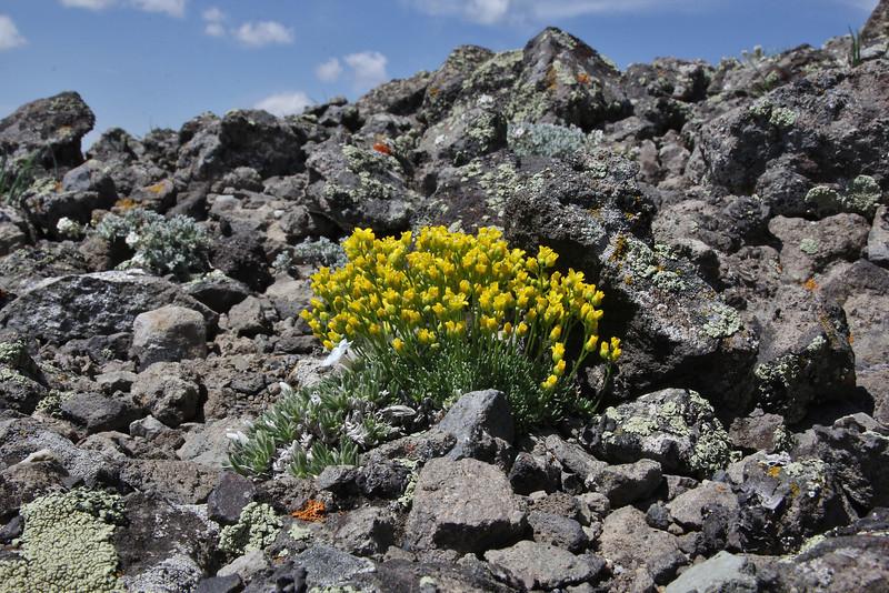 Draba incerta, Yellowstone Draba, Mount Washburn 3152m.