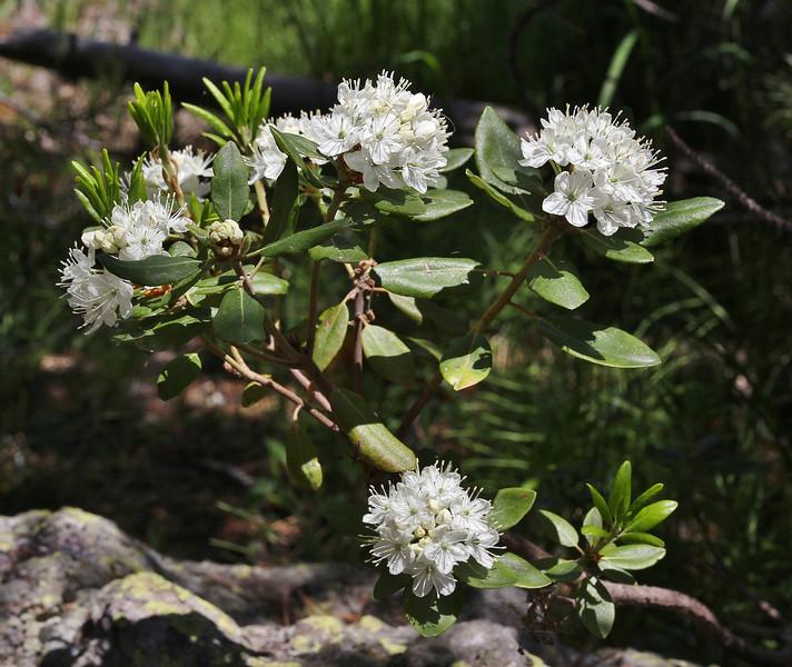 Ledum glandulosum, Trapper's Tea, Isa Lake.