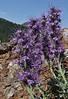 Phacelia sericea, Silky Phacelia.