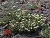 Cerastium arvense, Field Chickweed, Mount Washburn 3152m.