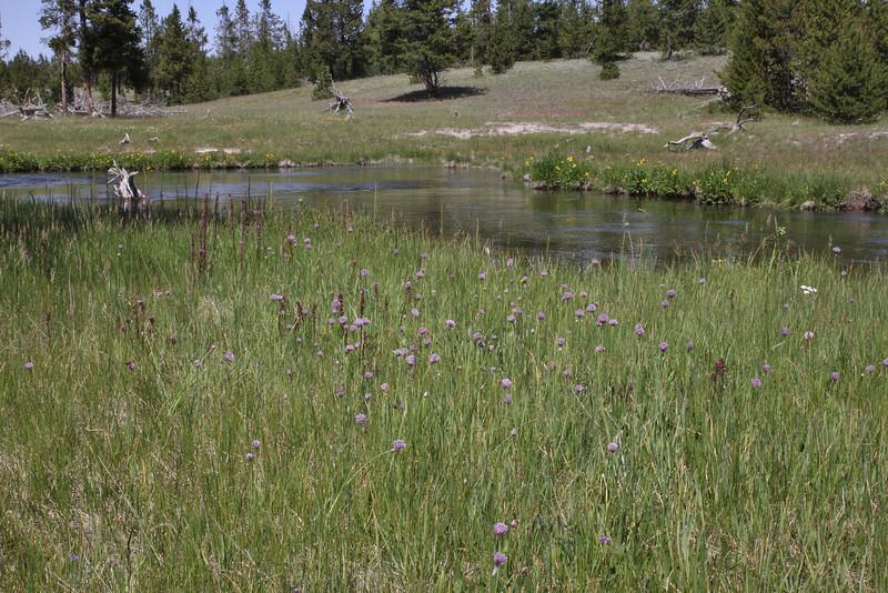 Allium Schoenoprasum, Siberian Chives, streambank Firehole River.