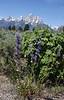 Penstemon attenuatus, Taper-leaved Beardtongue, Buffalo Fork, Bridger-Teton National Forest.