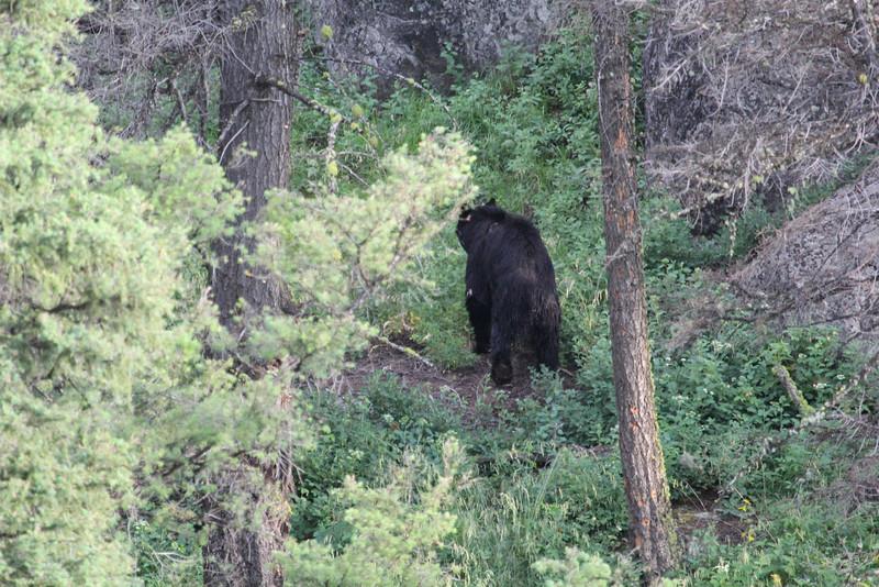 Ursus americanus, Black Bear. E of Mammoth Hot Springs, N.W. WY