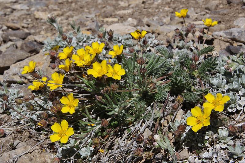 Ranunculus pedatifidus, (syn. R. affinis)?, Birdfoot Buttercup ?, Bridger-Teton National Forest