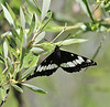 Limenitis weidemeyerii, Weidemeyer's Admiral on willow. Buffalo Fork, Bridger-Teton National Forest.