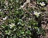 Lloydia serotina, Alplily, Bridger-Teton National Forest