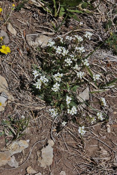 Arabis spec. ? Bridger-Teton National Forest