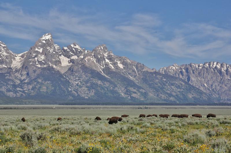 "Bison bison, American Bison ""Buffalo"" herd. Teton National Forest."