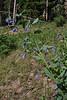 Mertensia ciliata, Mountain- or Streamside Bluebells.