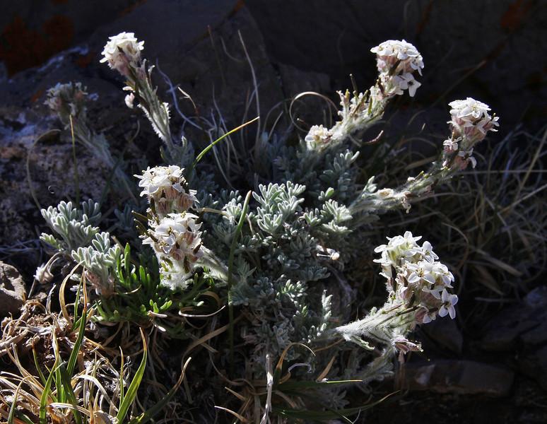 Smelowskia calycina, Alpine Smelowskia. Bridger-Teton National Forest