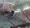 Ursus americanus, Black Bear. Lava Creek, E of Mammoth Hot Springs, N.W. WY