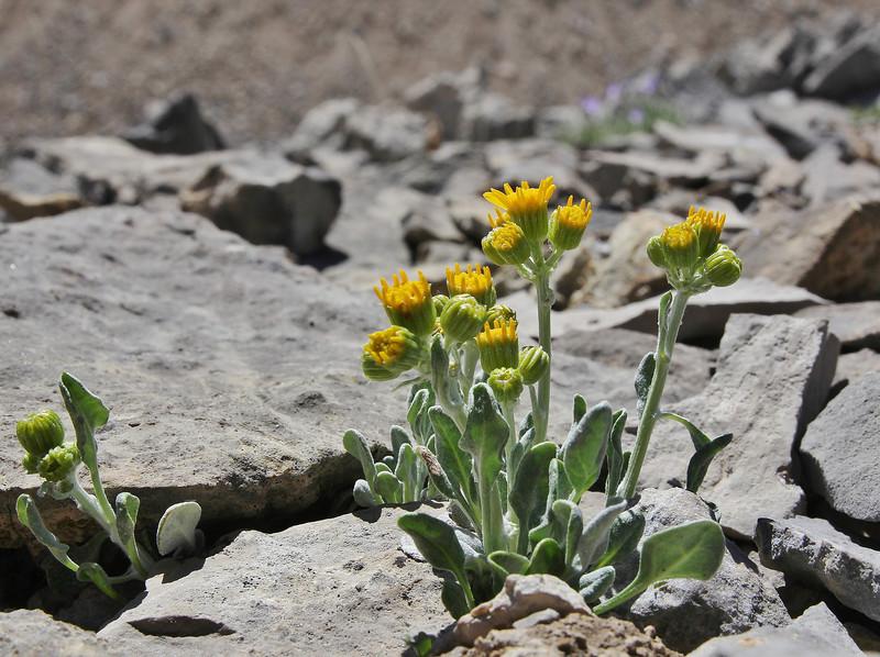 Senecio spec, Bridger-Teton National Forest