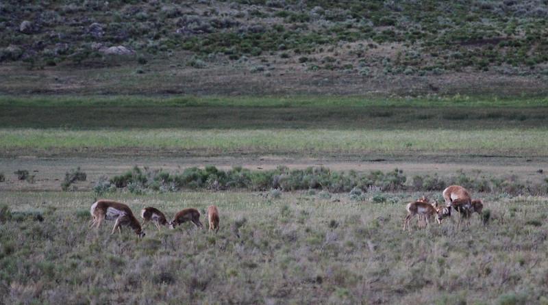 Antilocapra americana, Pronghorn antilope.