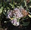 "Phacelia hastata, (syn. P. leucophylla), Whiteleaf Phacelia or ""Scorpionweed"", Geyser Basin."