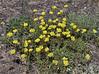 Eriogonum flavum, Yellow Buckweat.