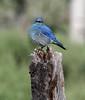 Sialia currucoides, Mountain Bluebird, male. Teton National Forest.