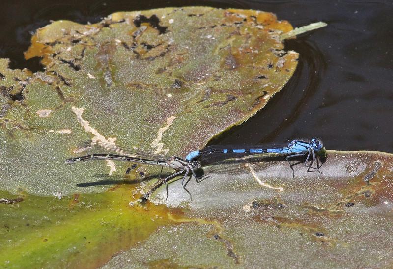 Enallagma boreale on Nuphar polysepalum, Boreal Bluet on Yellow Pond Lily, Isa Lake.
