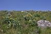 Balsamorhiza sagittata, Arrow-leaved Balsamroot. Washburn Range.