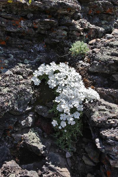 Phlox multiflora, Rocky Mountain Phlox, Mount Washburn 3152m.