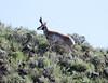 "Antilocarpa americana, Pronghorn ""Antelope""."