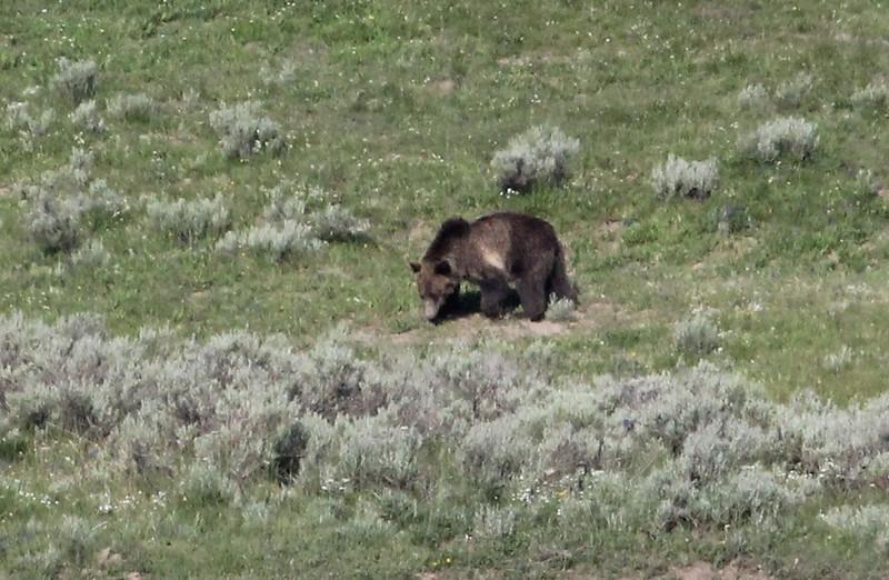 Ursus arctos, Grizzly Bear, near the Thunderer 3217m.