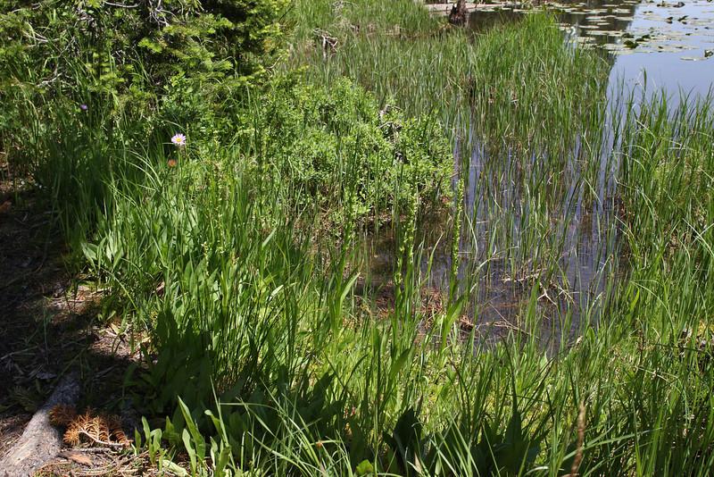 Habernaria hyperborea, Northern Green Bog Orchid, Isa Lake.