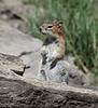 Spermophilus lateralis, Golden-Mantled Ground Squirrel. Bridger-Teton National Forest.