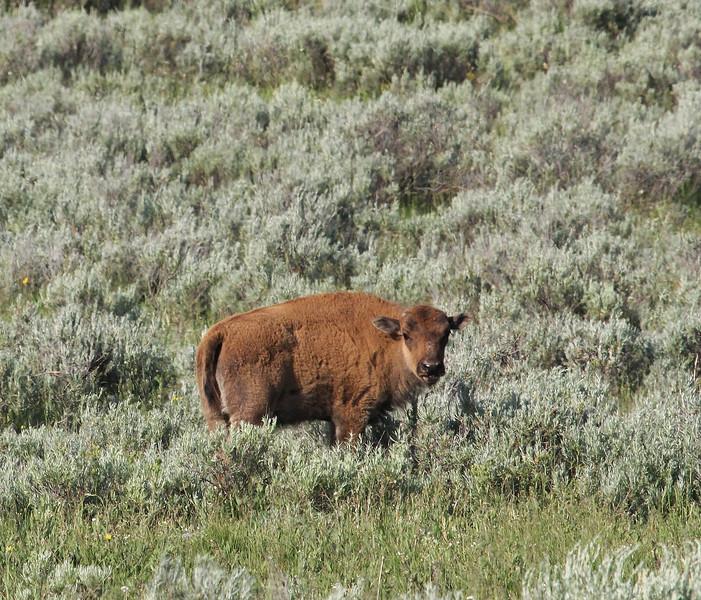 "Bison bison, American Bison ""Buffalo"" calf."