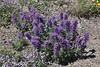 Phacelia sericea, Silky Phacelia, Mount Washburn 3152m.