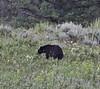 Ursus americanus, Black Bear.
