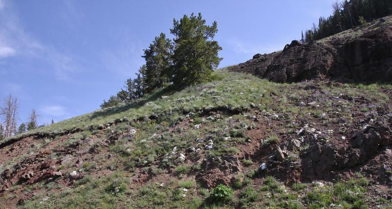 habitat of Phlox multiflora, Rocky Mountain Phlox.