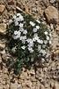 Phlox hoodii or multiflora, Bridger-Teton National Forest