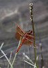 Sympetrum obtrusum?, White-Faced Meadowhawk, male. Firehole River.
