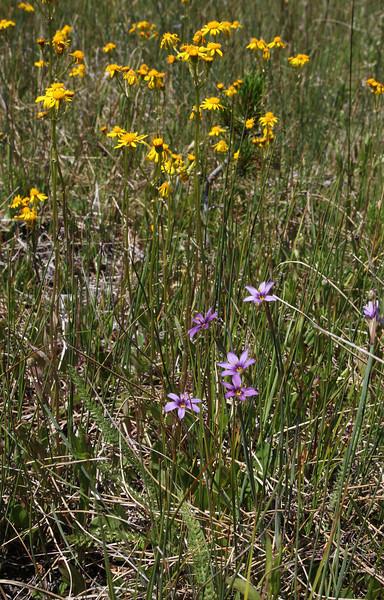 Sisyrinchium idahoense, Idaho blue-eyed Grass and Senecio pseudaureus, Streambank Groundsel, streambank of Firehole River.