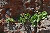 Telesonix jamesii ssp. heucheriformis, (syn. Boykinia jamesii)