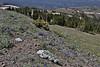 Phlox kelseyi, Marsh Phlox, Mount Washburn 3152m.