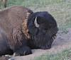"Bison bison, sleeping bull of American Bison ""Buffalo""."