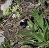 Valeriana edulis, Bridger-Teton National Forest.