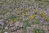 Wildflower meadow, Mount Washburn 3152m.