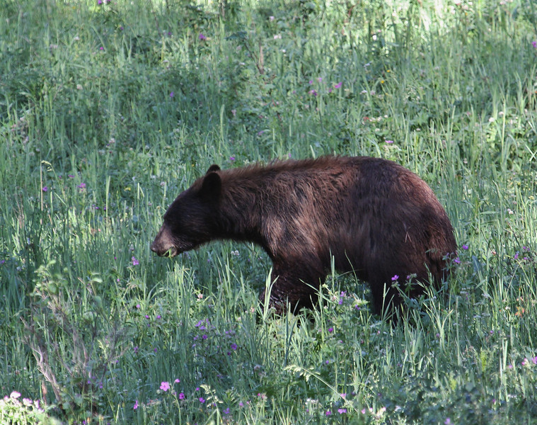 Ursus americanus, Black Bear with cinnamon-brown coat.