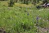 Delphinium bicolor, Low Larkspur.