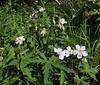 Geranium richardsonii, White Geranium.