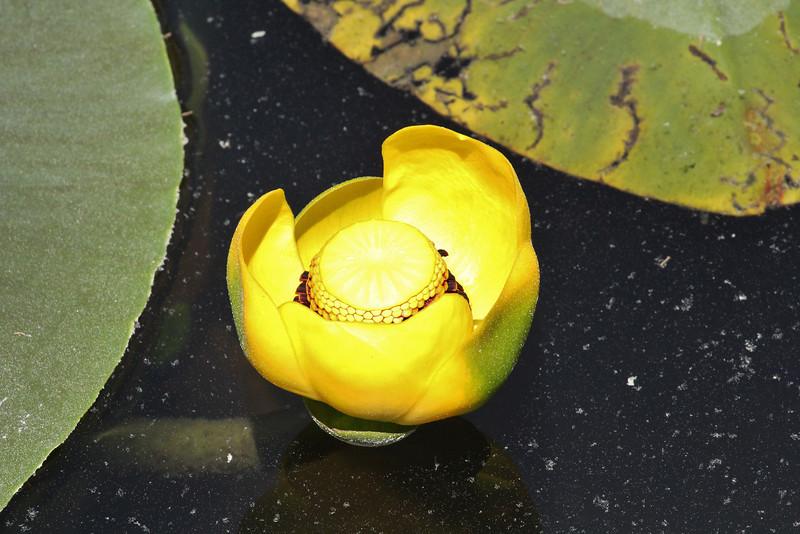 Nuphar polysepalum, (syn. Nuphar lutea), Isa Lake.