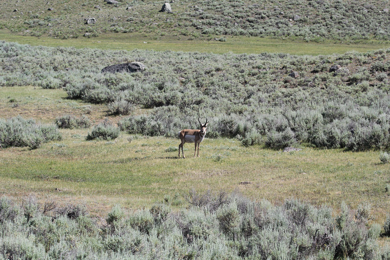 Antilocapra americana, Pronghorn antilope, male.