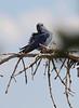 Sialia currucoides, Mountain Bluebird, female. Bridger-Teton National Forest.