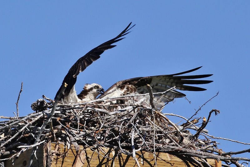 Pandion haliaetus, Osprey near Jackson Lake